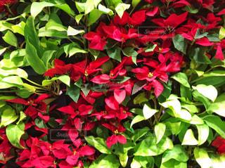 花,赤,フラワーアレンジメント,フラワー,鮮やか,クリスマス,グリーン,フラワーアレンジ,一面,ツートン,アレンジ,クリスマスカラー,ツートンカラー