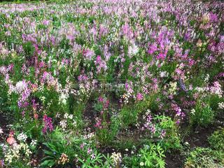 カラフルなお花畑の写真・画像素材[1136609]