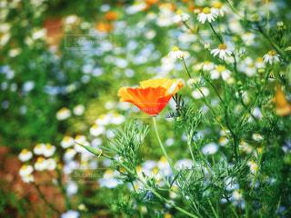 お花畑の中のポピーの写真・画像素材[1199322]
