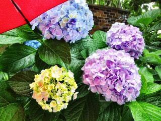 花,雨,傘,カラフル,あじさい,フラワー,葉っぱ,水滴,葉,濡れる,紫陽花,梅雨,しずく,雨の日,アジサイ