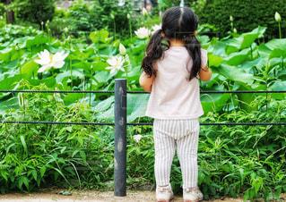 蓮の花に夢中になってる女の子の写真・画像素材[1368537]