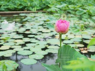 公園,花,屋外,東京,ピンク,フラワー,葉,池,つぼみ,蓮,茎,蕾,ピンク色,桃色,pink,ハス,はす,ツボミ,撥水