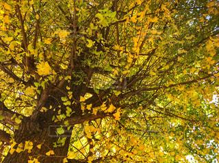 銀杏の木の写真・画像素材[1611539]