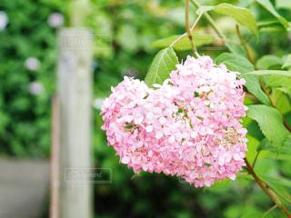 ピンク&ハートの紫陽花の写真・画像素材[1797586]