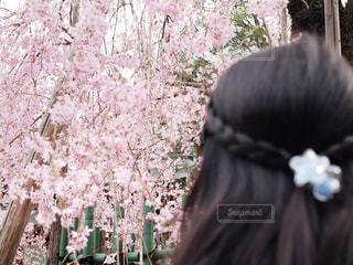 しだれ桜と女の子の写真・画像素材[1875993]
