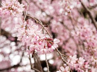 桜の開花の写真・画像素材[1876089]