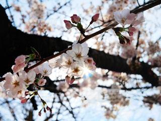 桜からこぼれる光の写真・画像素材[1881292]