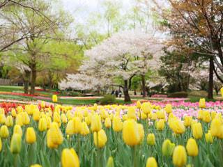 桜とチューリップの写真・画像素材[2031790]