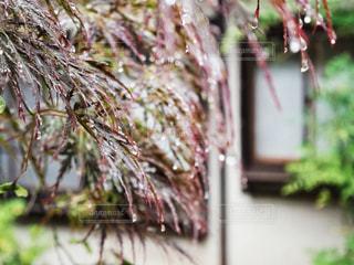 雨,庭,屋外,水,水滴,樹木,水玉,日本庭園,雫,小雨,しずく,玉ぼけ
