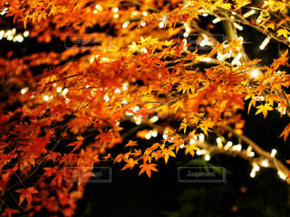もみじの紅葉の写真・画像素材[2511269]