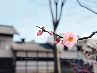 ピンクの花を持つ木の写真・画像素材[3014524]