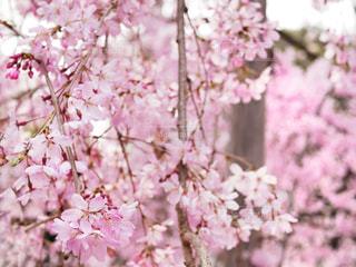 花,春,桜,木,ピンク,幻想的,花見,満開,樹木,お花見,イベント,桜の花,淡い,見頃,さくら,ブロッサム