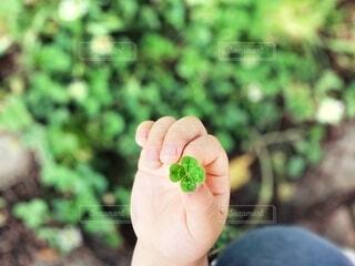 屋外,手,手持ち,四葉のクローバー,人物,人,クローバー,ポートレート,ハッピー,ラッキー,ライフスタイル,草木,幸運,手元