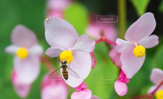 花,蜂,ハチ,秋海棠