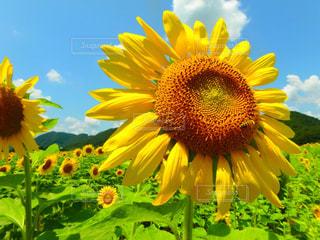 夏,ひまわり,青空,虫取り,ひまわり畑,はち