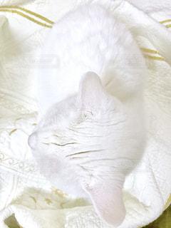 白猫🐈の写真・画像素材[871994]