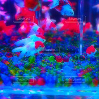 金魚の水槽の写真・画像素材[870514]