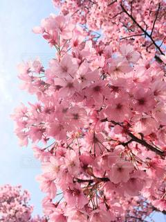 花,春,桜,木,ピンク,花見,景色,満開,お花見,桜の花,さくら,ブロッサム
