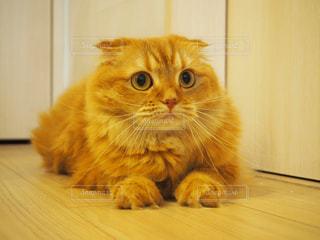 カメラを見ている猫の写真・画像素材[986566]