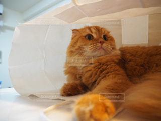テーブルの上に座ってオレンジと白猫の写真・画像素材[1281810]