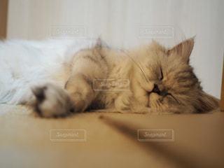 横になって、カメラを見ている猫の写真・画像素材[1281818]