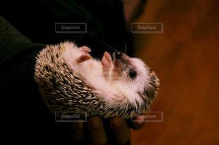 カメラを見て齧歯動物の写真・画像素材[721416]