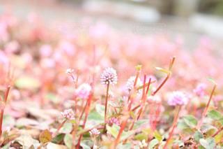 花,屋外,ピンク,明るい,草木,ピンクだらけ