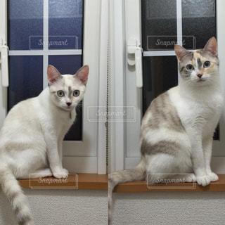 鏡の前で座っている猫の写真・画像素材[994852]