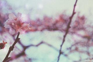 花,ピンク,かわいい,綺麗,休日,四季桜,冬の花