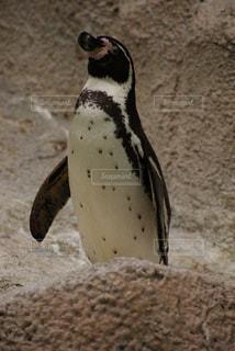 近くにペンギンのアップ - No.721246