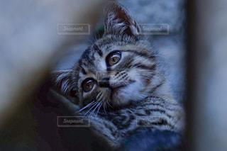カメラを見ている猫の写真・画像素材[723141]