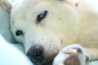 カメラを見て茶色と白犬の写真・画像素材[974553]