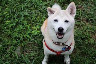 草の中に座っている茶色と白犬の写真・画像素材[974587]
