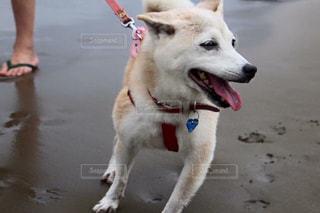 砂浜の上に犬の地位の写真・画像素材[974592]