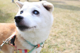 カメラを見て茶色と白犬 - No.974598