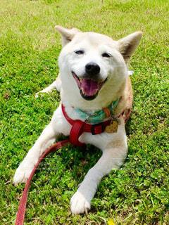 茶色と白犬がフリスビーで遊んでの写真・画像素材[974606]