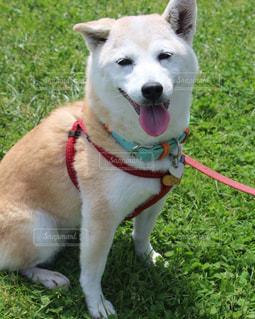 口の中に赤いフリスビーで茶色と白犬の写真・画像素材[974608]