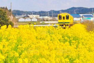 フィールド内の黄色の花の写真・画像素材[1124230]