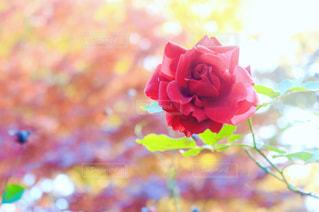 遅咲きのバラの写真・画像素材[1371451]