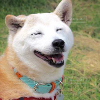 草の中に座っている茶色と白犬の写真・画像素材[1595852]