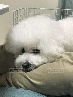 ベッドの上で横になっている白い犬の写真・画像素材[736665]