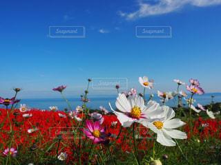 コスモス畑と青い空の写真・画像素材[795019]
