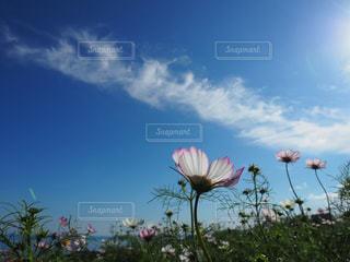 花,コスモス,淡路島