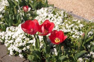 花,春,植物,赤,チューリップ