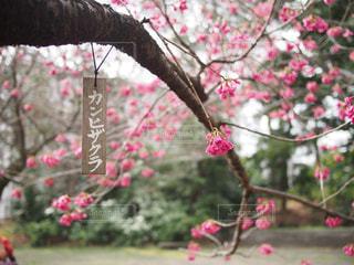花,春,桜,日本庭園,和風,カンヒザクラ,寒緋桜