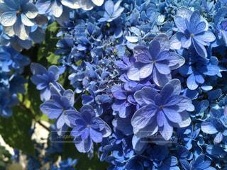 樹木,紫陽花,青紫