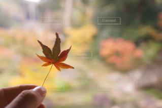 もみじの葉っぱの写真・画像素材[873023]