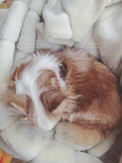 ベッドの上で横になっている茶色と白犬 - No.877560