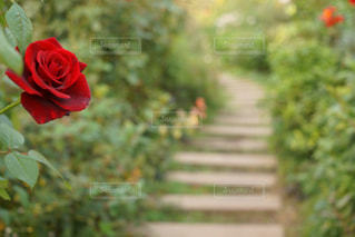 植物の赤い花の写真・画像素材[917437]