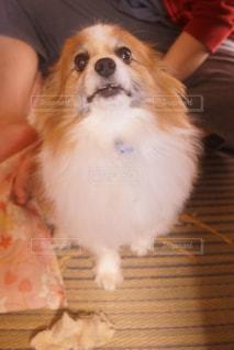 カメラを見て小さな犬の写真・画像素材[932518]